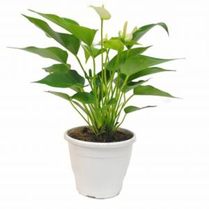 Plantas resistentes clique arquitetura seu portal de ideias e solu es - Plantas resistentes de interior ...